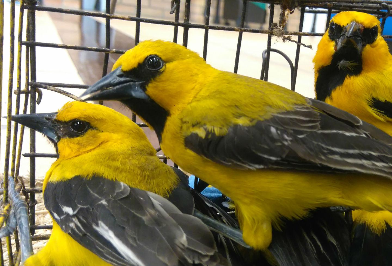 Turpiales amarillos.