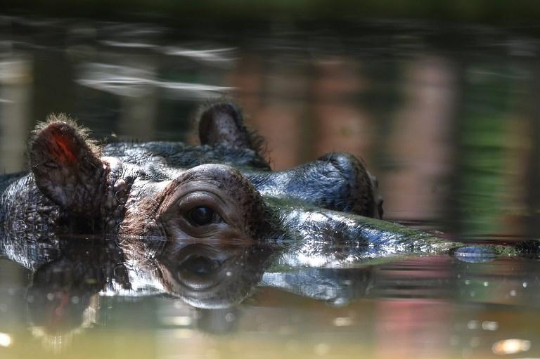 Hipopótamo. Foto Referencial.