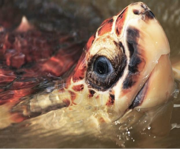 Tortuga carey en peligro crítico de extinción.