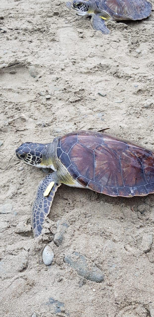 Jornada de liberación de tortugas de mar