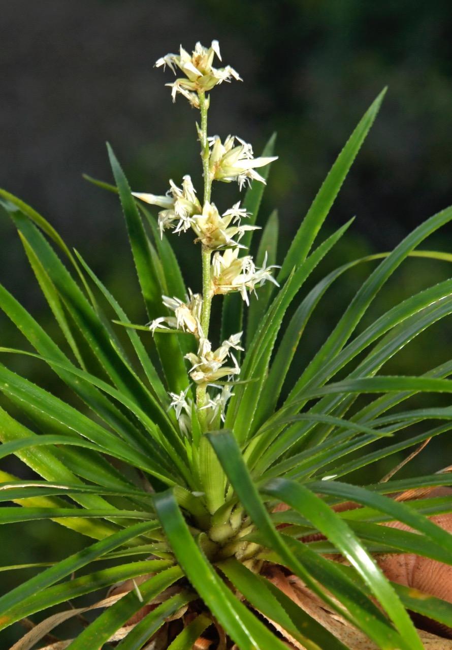 Nueva especie de Bromelia.