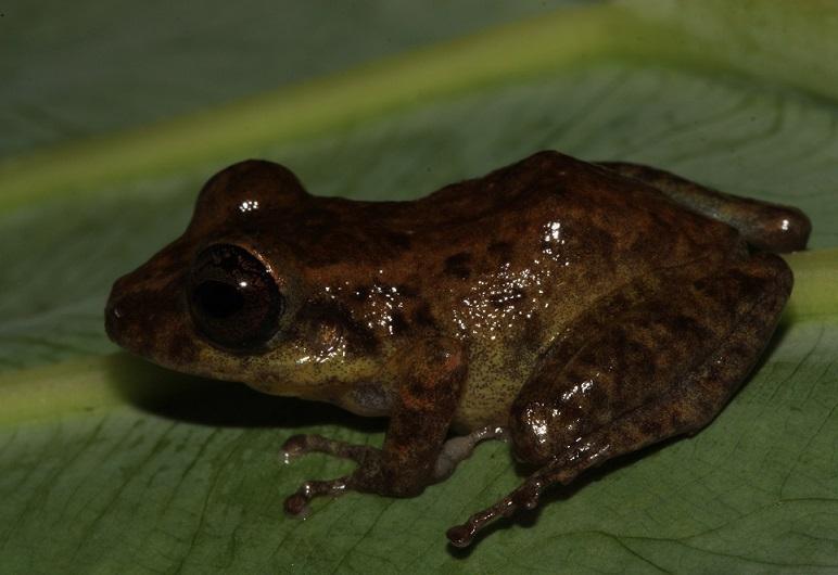 Posible nueva especie de rana (Pristimantis sp).