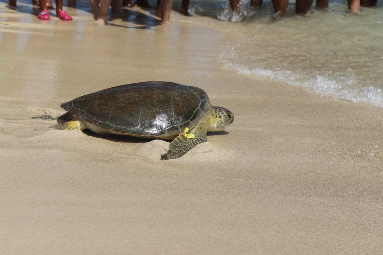 Entre los especímenes liberados está una tortuga tipo Verde y 88 tipo Carey, 63 de ellas recién nacidas.