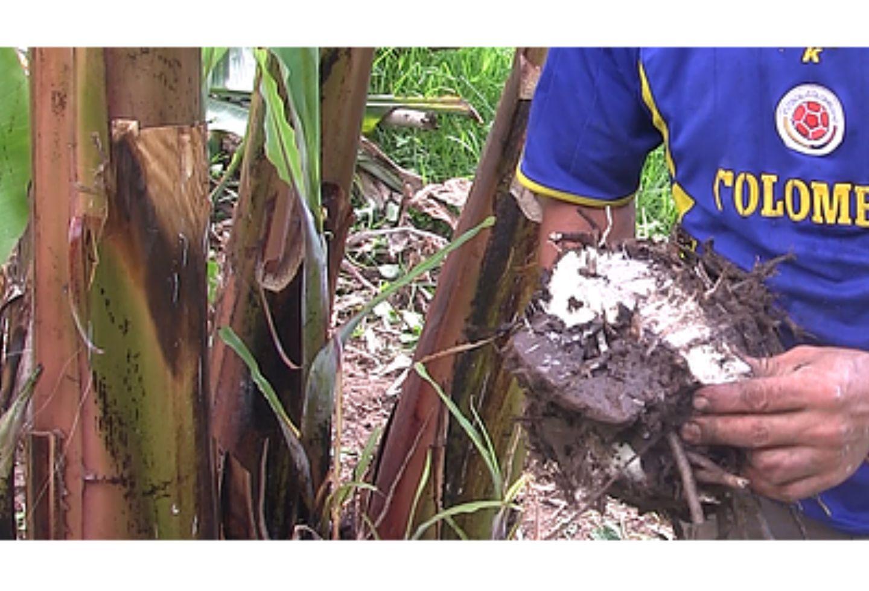 El cultivo de plátano en Pacho (Cundinamarca).