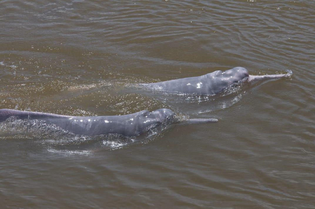 Delfín de río.