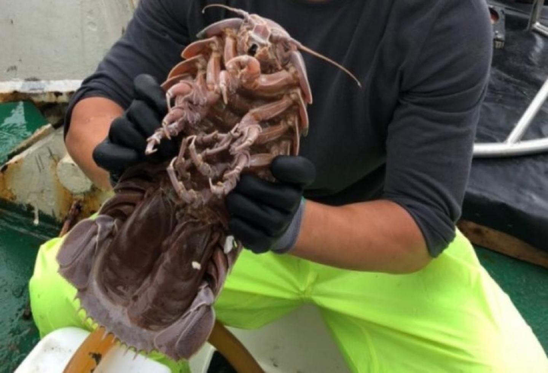 Descubren cucaracha gigante en el fondo del mar
