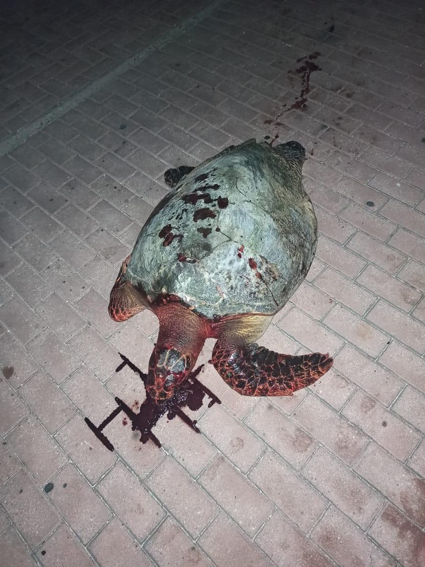 Maltrato a una tortuga carey en San Andrés.