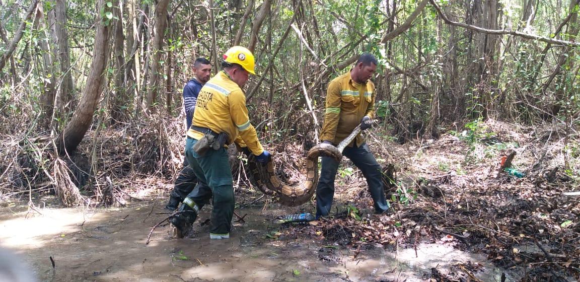 Rescate de boa constrictor en Parque Isla de Salamanca, Magdalena.