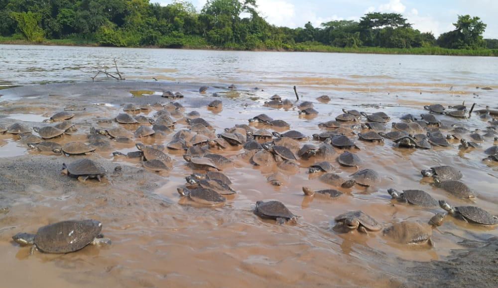 Liberación tortugas en Colombia.