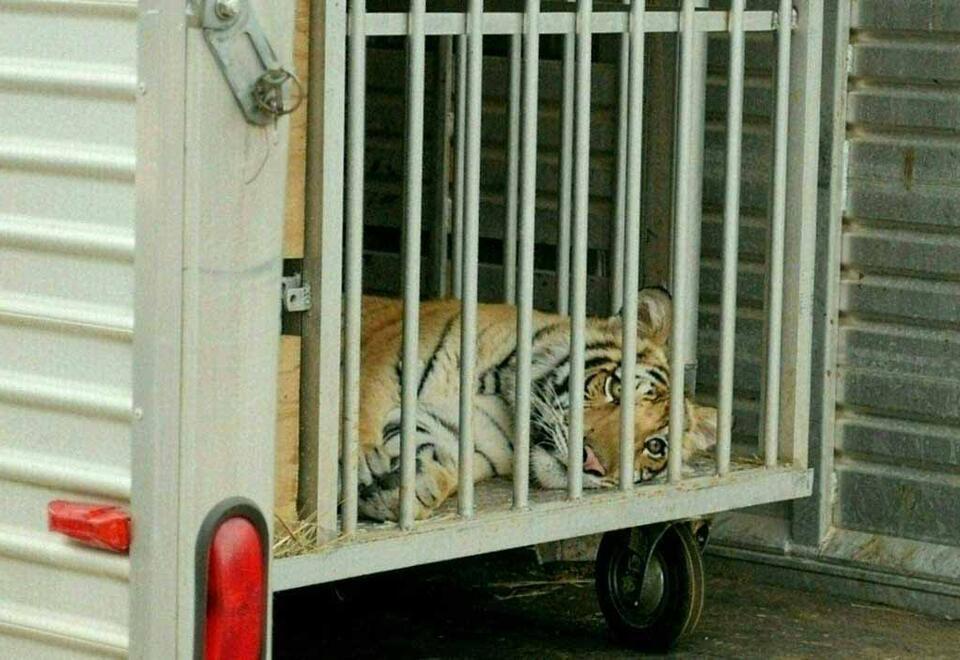 El tigre de Bengala deambulaba por un barrio