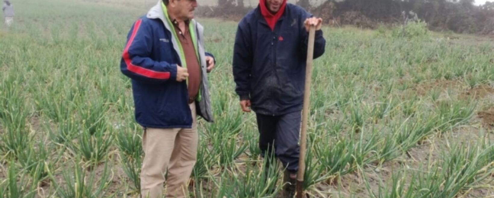 La cebolla larga en Santander
