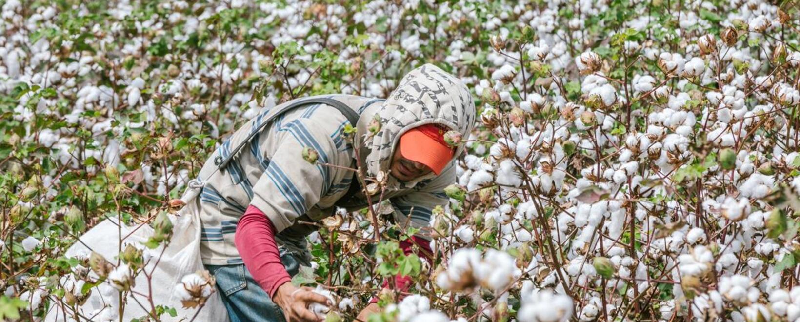 Todo listo para poner en marcha plan para reactivar el sector algodonero en el país.