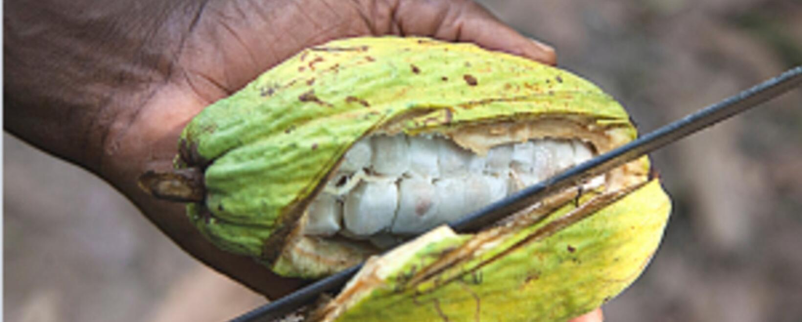 Tenga presente estas prácticas para conocer las enfermedades del cacao.