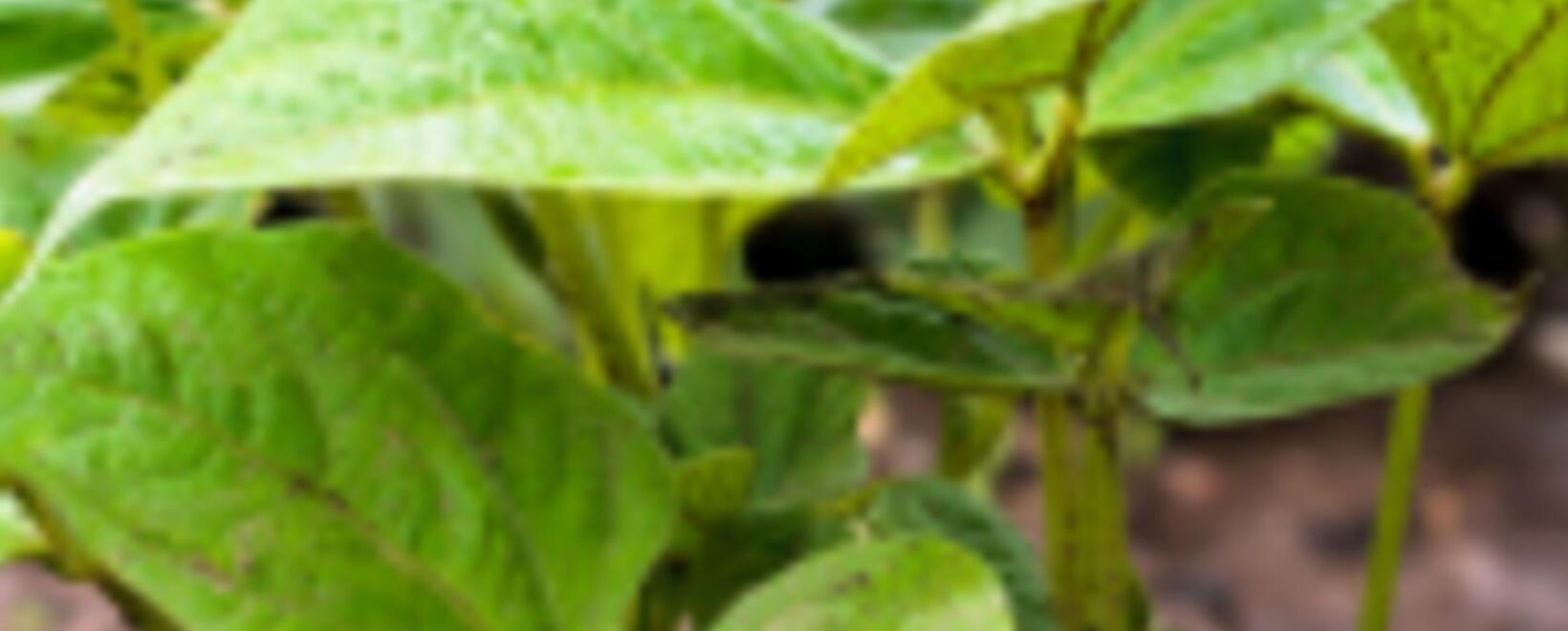 Tenga en cuentas estas buenas prácticas para controlar una plaga del suelo de cultivo de frijol.