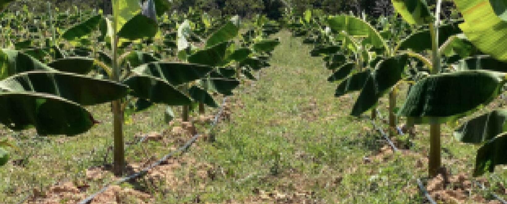 Métodos de prevención para las plagas en los cultivos de plátano y más encontrará en este boletín.