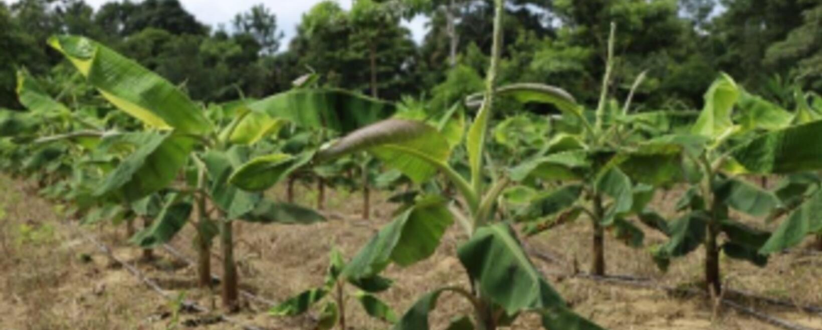 ¿Cómo funcionan las producciones de plátano? ¡Aquí se lo contamos!