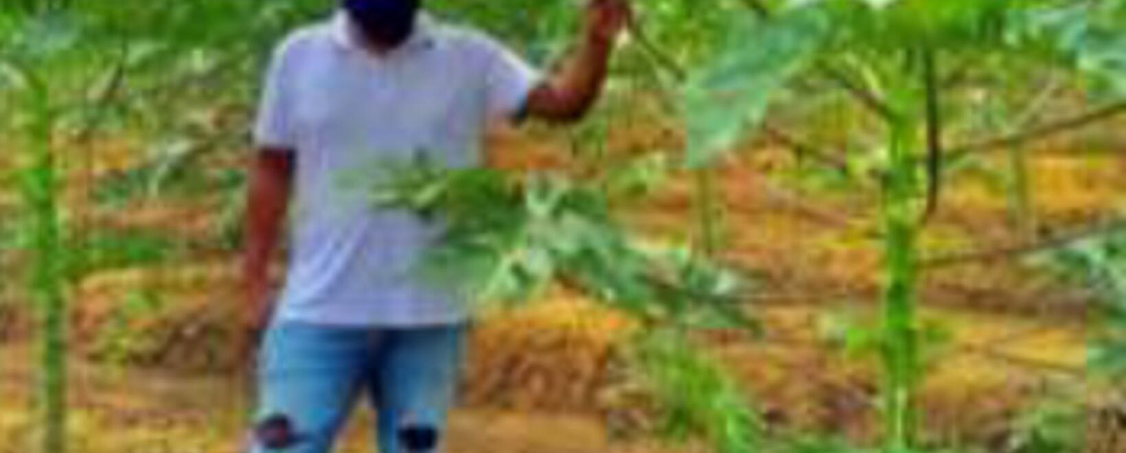 Imagen hectárea de papaya - USAID