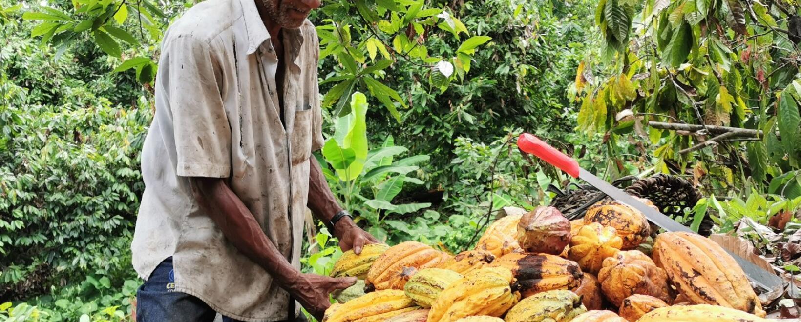 Cacao parte 4 - USAID