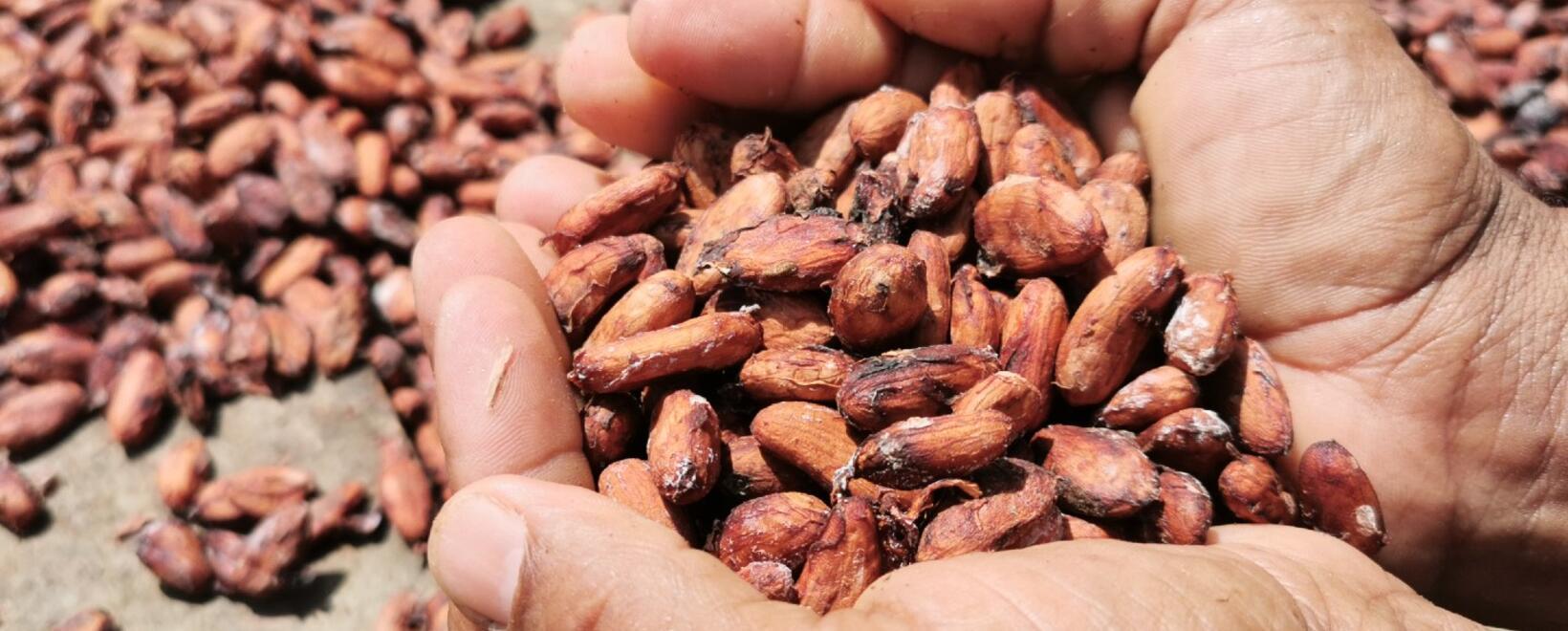 Cacao USAID