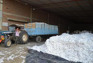 La poca comercialización y factores climáticos desataron crisis de algodoneros