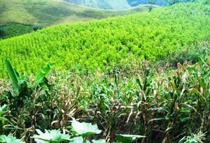 Tumaco es el lugar de Colombia con mayor cantidad de hectáreas sembradas con Coca.