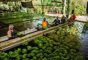 Operarios de planta productora de bananos