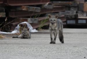 Los zorros conviven en la zona con aves como tórtolas, roedores y sapos.