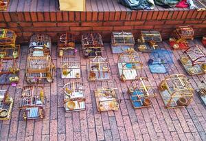 Canarios rescatados en Bogotá