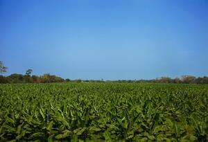 Cultivos de banano en el Caribe