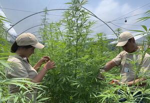 Personas trabajando con cannabis medicinal en el Eje Cafetero