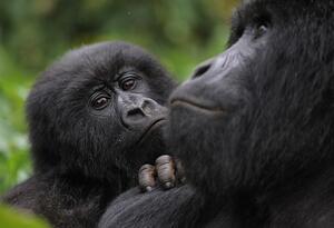 "El gorila de espalda plateada se llamaba ""Rafiki"""