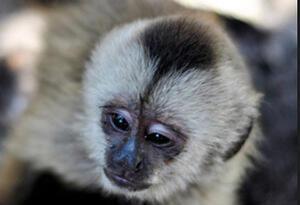 Mico diablo, una de las especies de primates más pequeñas.