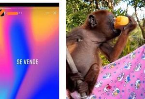 Así era comercializado el mono aullador.