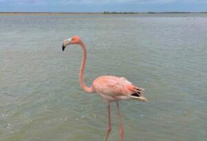 Flamencos rosados liberados