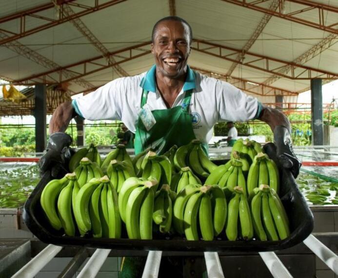 Bananos tipo exportación