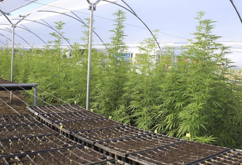 Zona de cultivos de cannabis medicinal