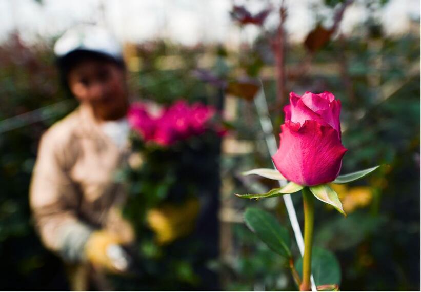Las flores colombianas son apetecidas en varios países.