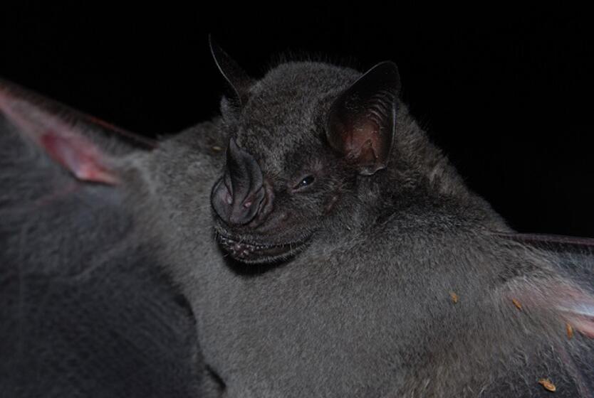 Murciélago (Artibeus obscurus).