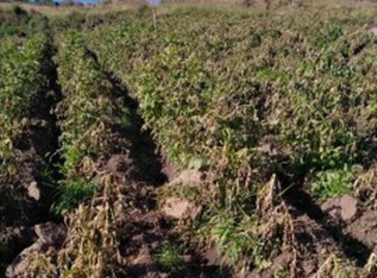 Cultivos afectados por heladas en Chitagá, Norte de Santander