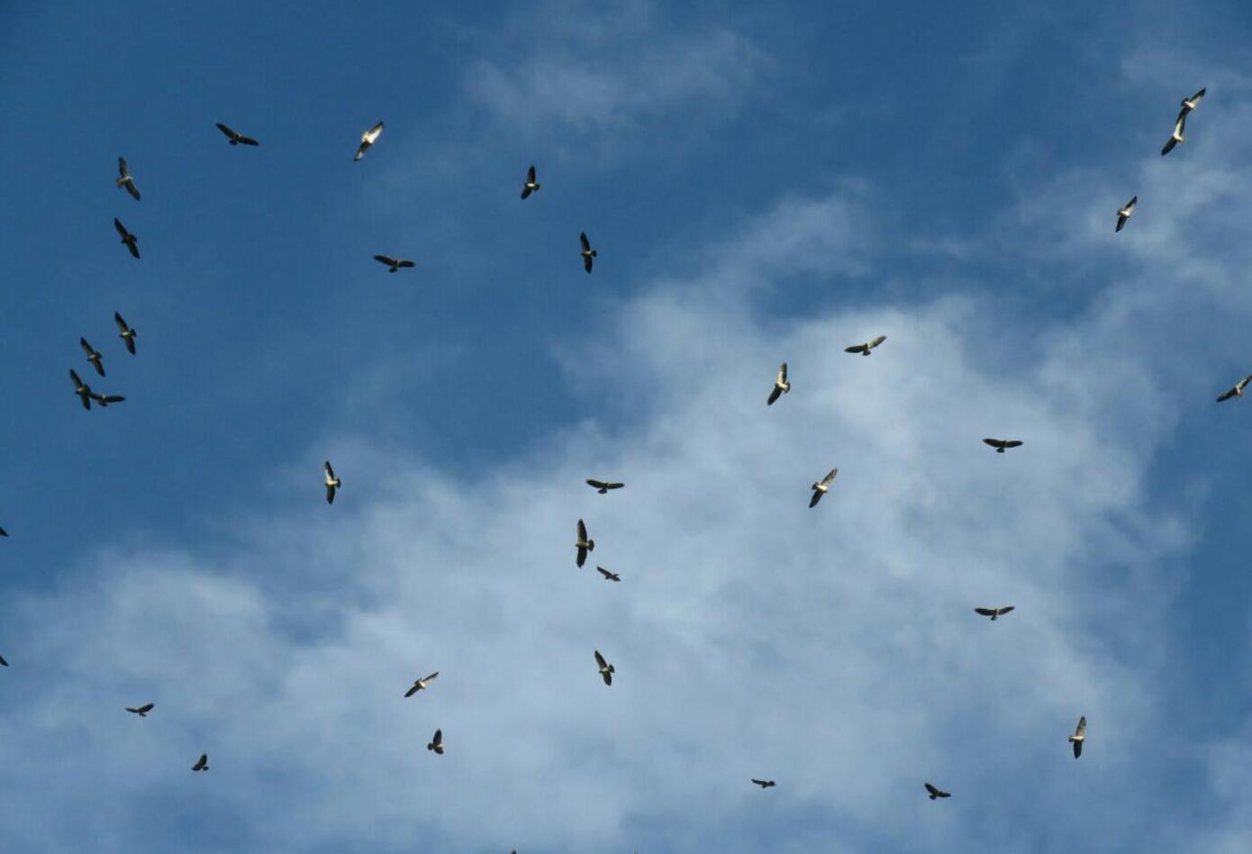 Águilas en Tolima