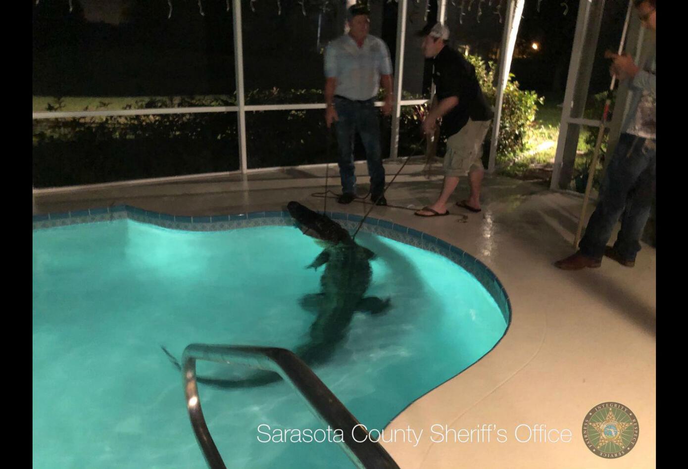 Cocodrilo ingresó a piscina en Florida