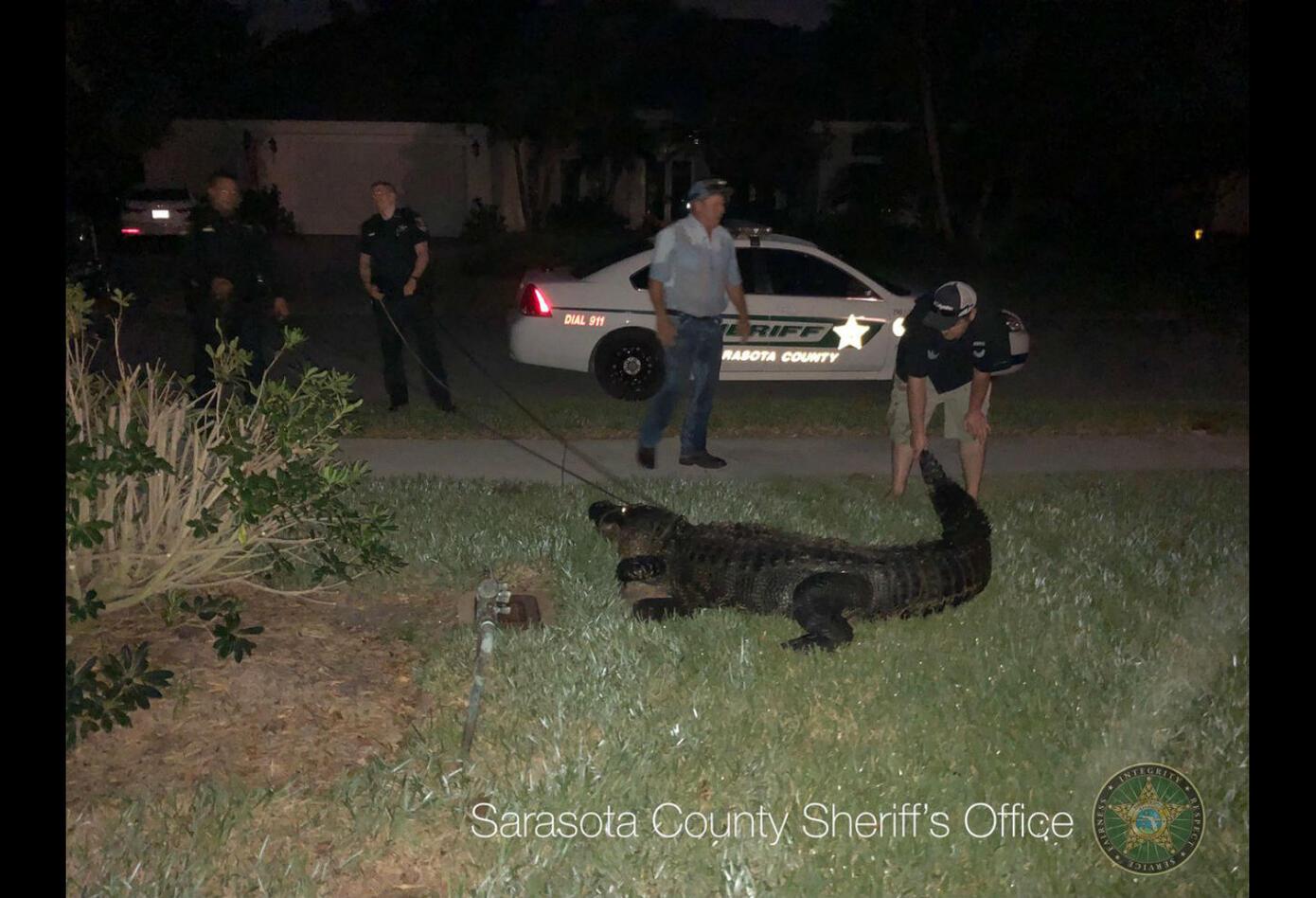 Policías llegaron a sacar a un cocodrilo de una piscina en Florida