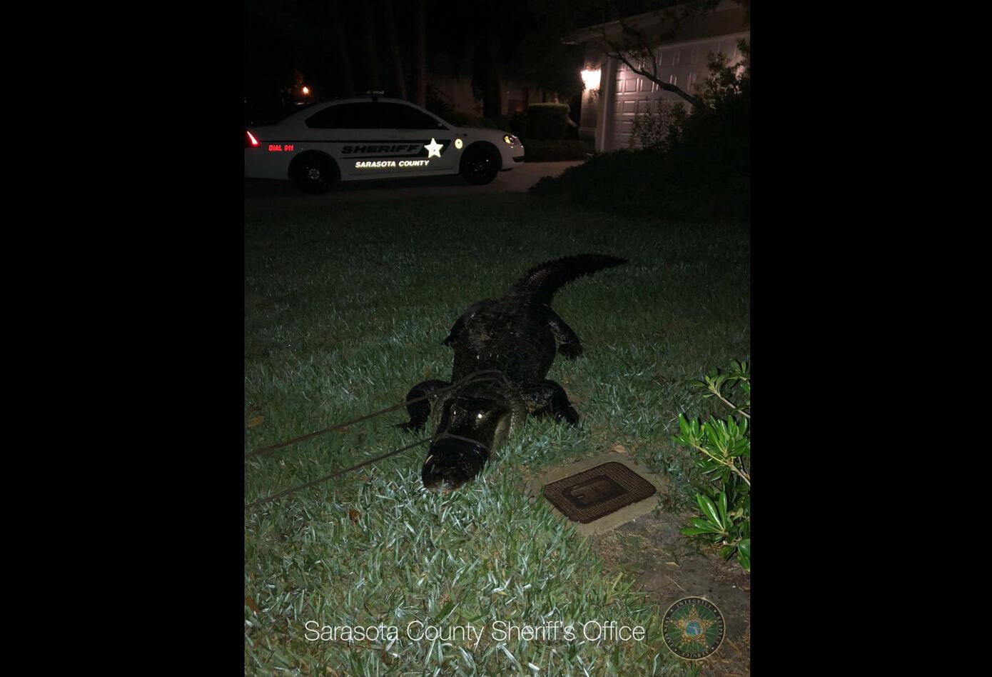 Esta es la imagen del cocodrilo al sacarlo de la piscina