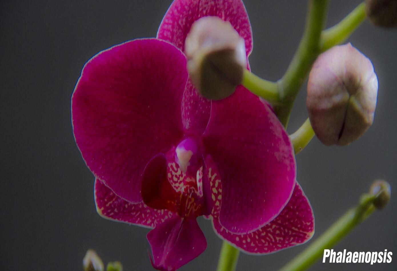 Orquídea Phalaenopsis