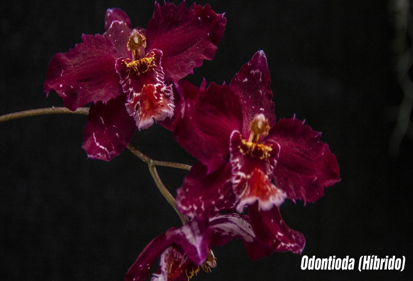Orquídea Odontioda