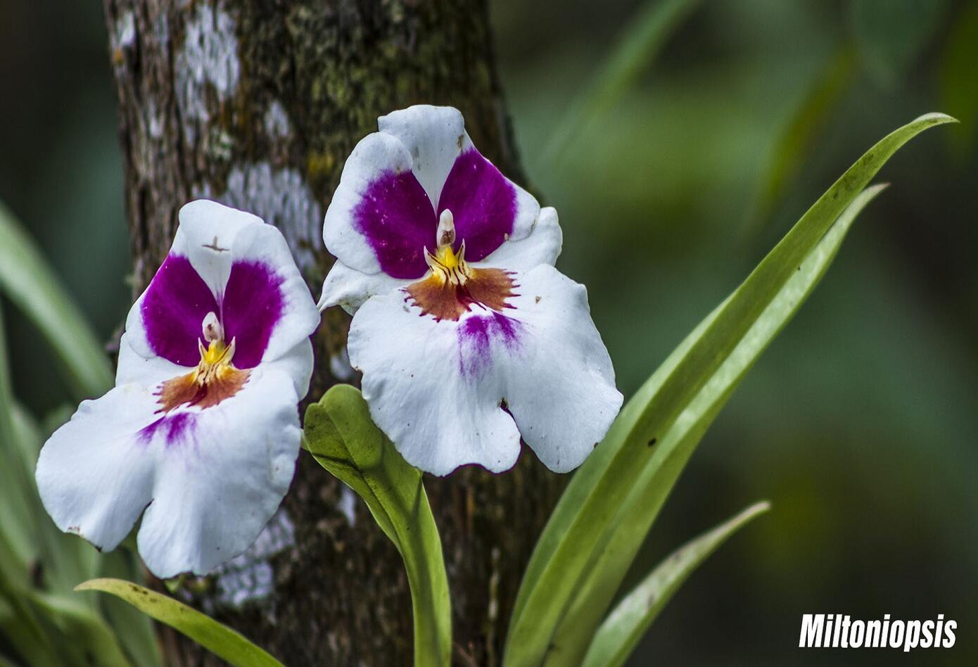 Orquídea Miltoniopsis