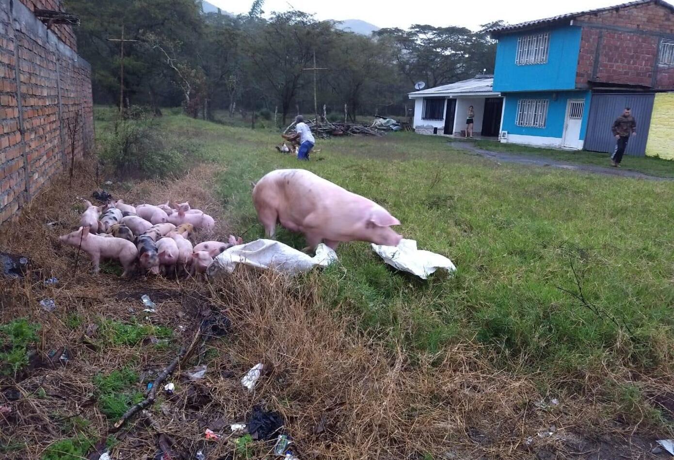 Gran parte de ganado en el municipio de El Dovio resultó afectado.