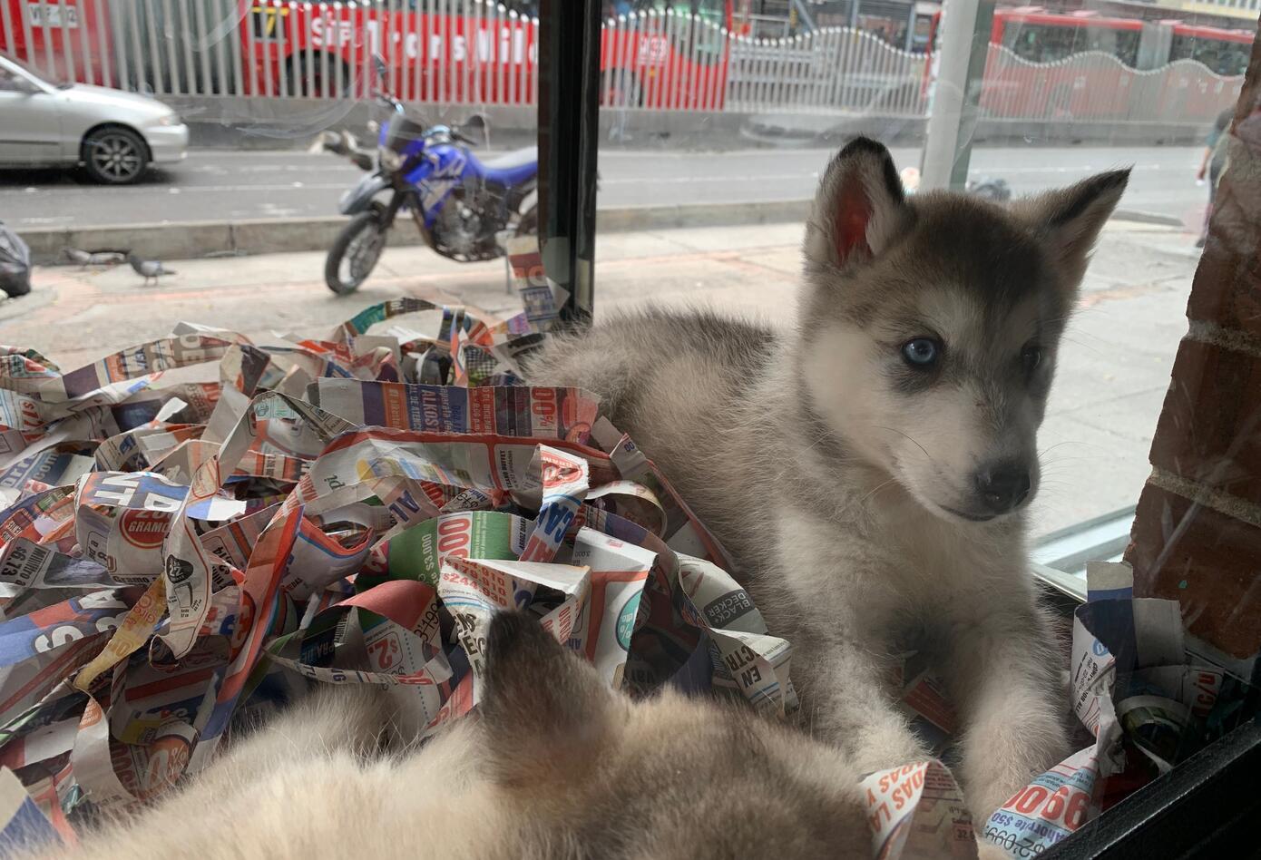 Perros de raza cachorros