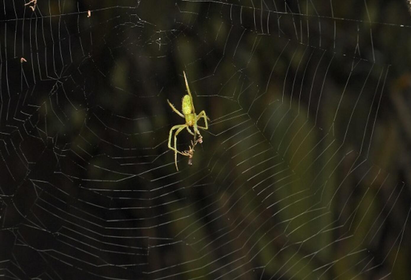 Araña (Eustala sp).