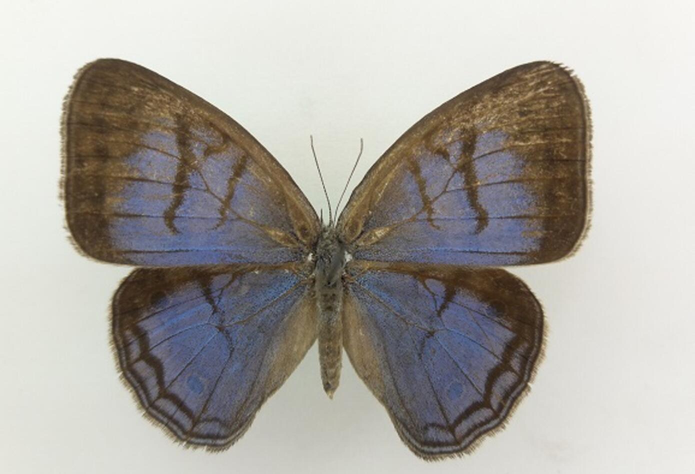 Mariposa (Caeruleuptychia sinchi).